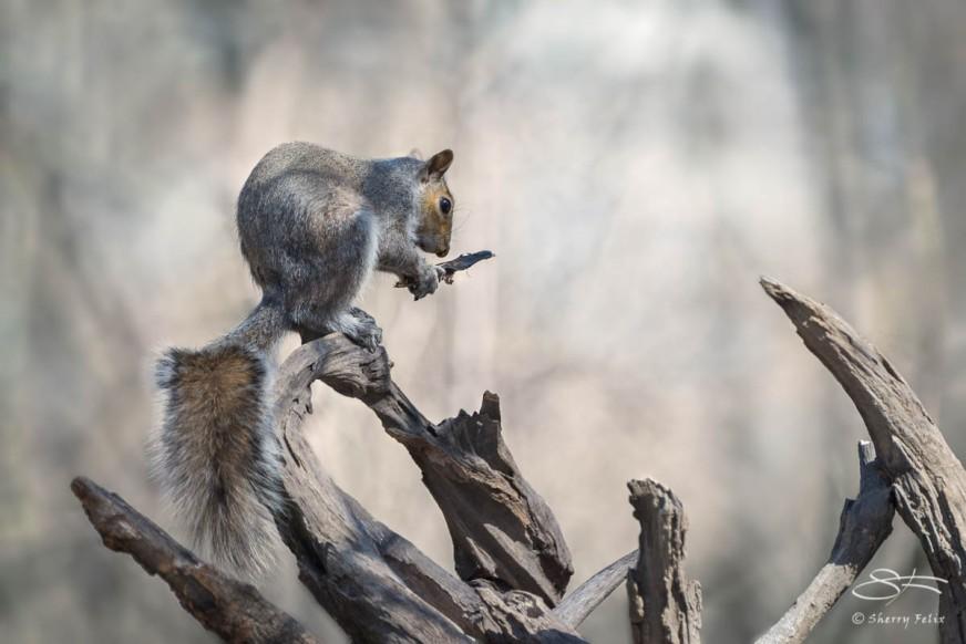Eastern Grey Squirrel Reading, Central Park 5/10/2015 sf 9