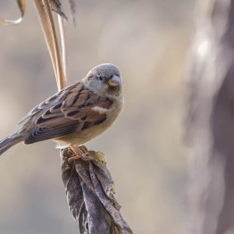 House Sparrow, CXentral Park 10/21/14 sf 7