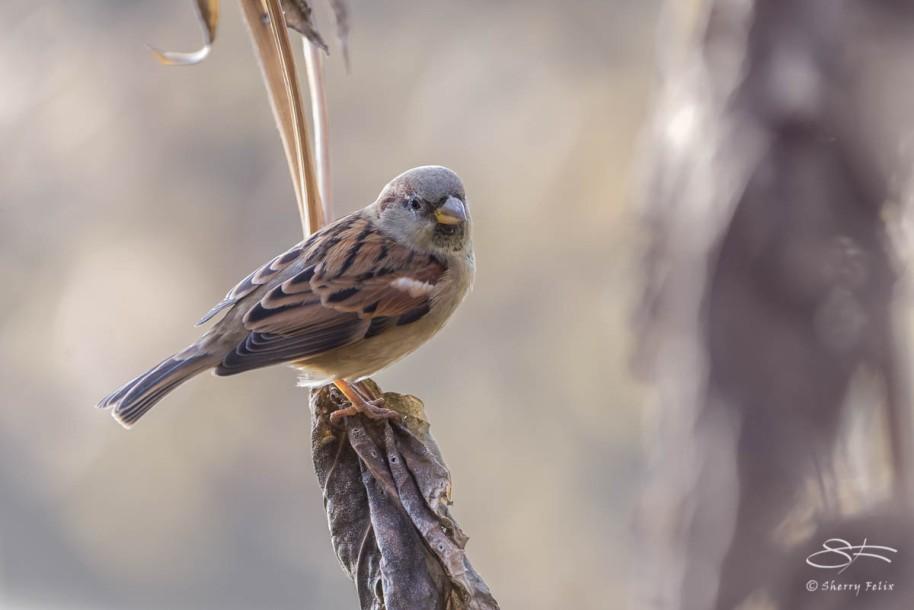 House Sparrow, CXentral Park 10/21/14 sf 7