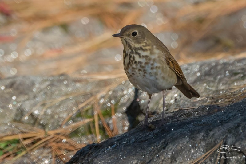 Hermit Thrush, Central Park 10/25/2013 sf 13v2