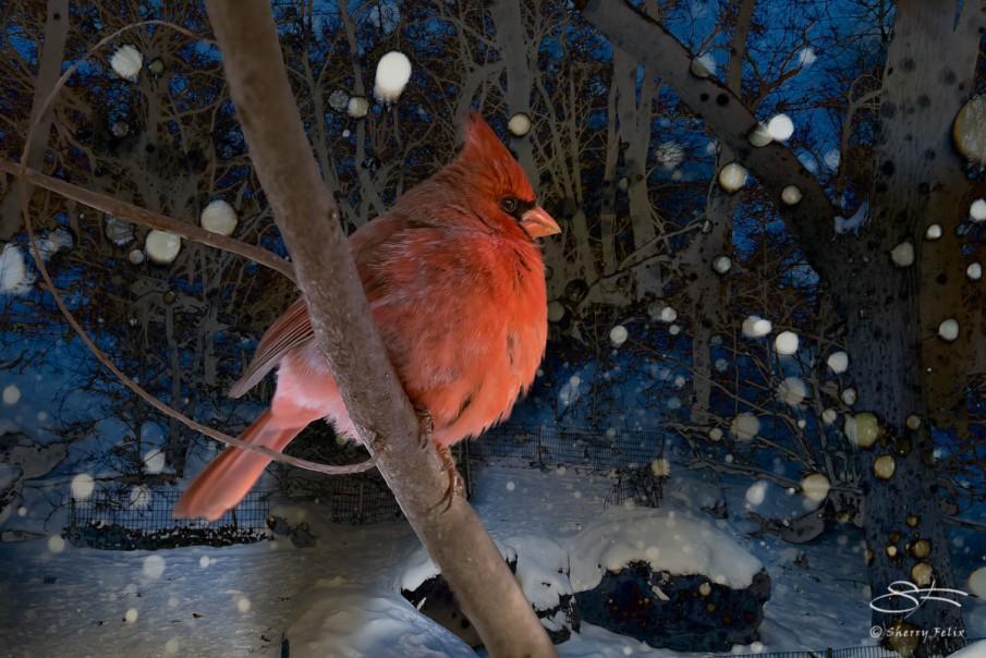 Northern Cardinal. Central Park 1/28/2015 sf 9