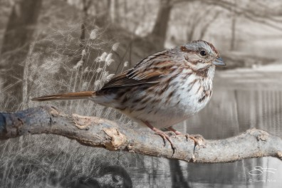 Fox Sparrow, Central Park 3/24/2015 sf 10v2
