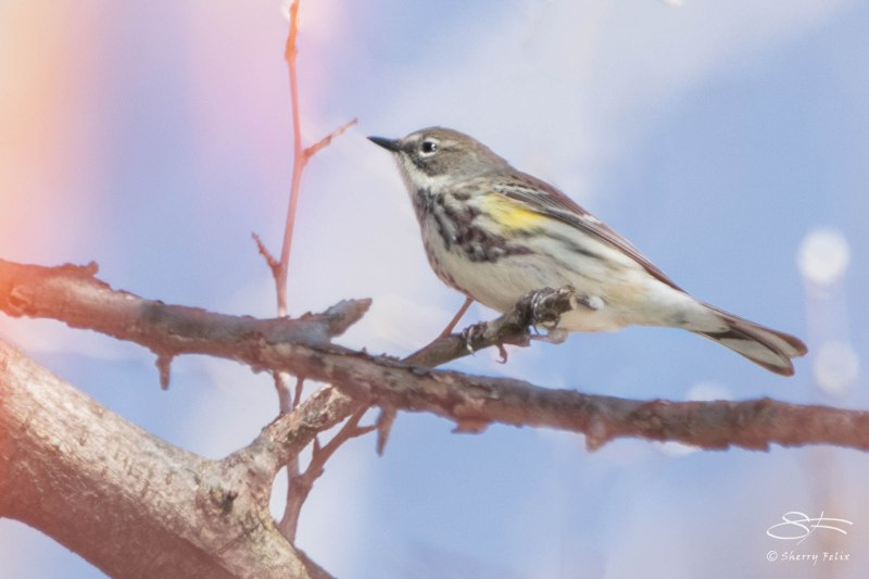 Yellow-rumped Warbler, Central Park 4/28/2015