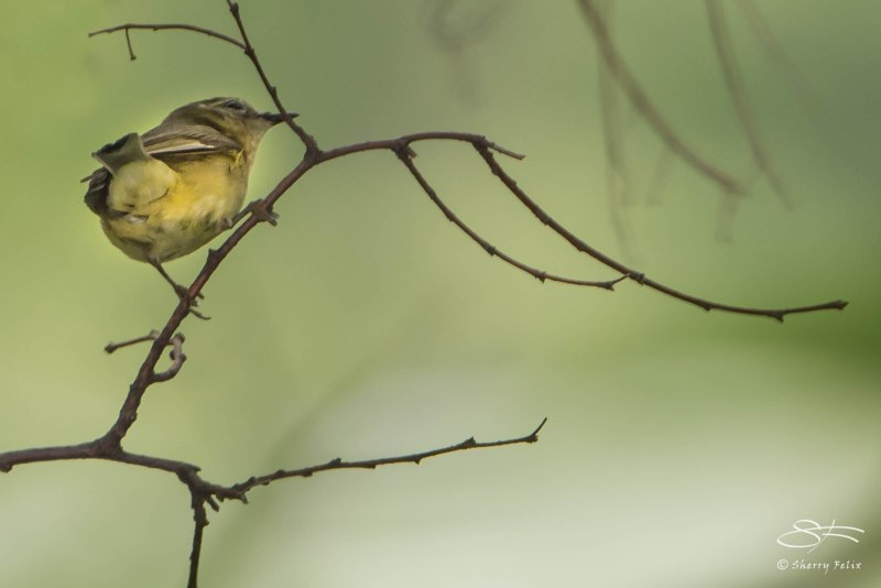 Connecticut Warbler, Central Park 5/15/2015