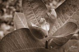 Milkweed, Bashakill 6/6/2015