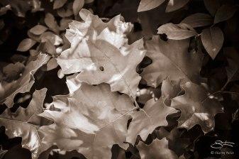 Swamp White Oak (Quercus bicolor), Bashakill 6/6/2015