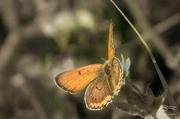 Bronze Copper (Lycaena hyllus), Bashakill 6/6/2015