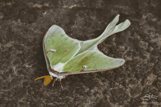 Luna Moth (Actias luna), Perrion Drive, Sullivan County, NY 6/6/2015