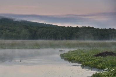 Beaver lodge at dawn, Bashakill 6/7/2015