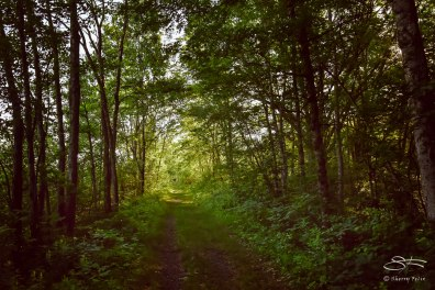 Path parallel to South Road, Bashakill WMA, Sullivan County, NY 6/7/2015