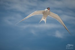 Common Tern, Nickerson Beach 6/17/2015