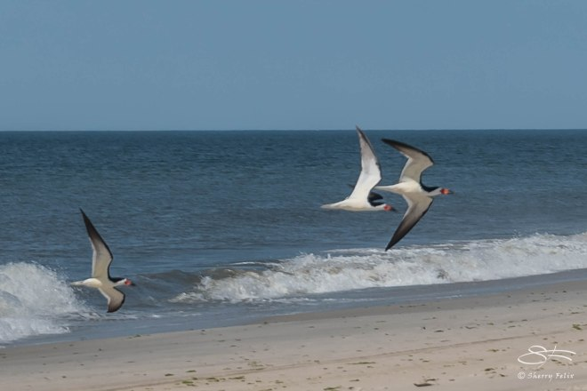 Black Skimmers, Nickerson Beach 6/17/2015