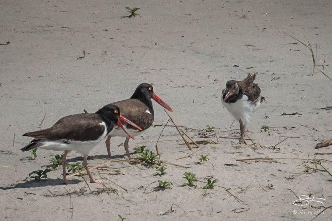 North American Oystercatchers, Nickerson Beach 6/17/2015