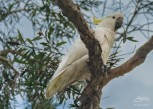 Sulphur-crested Cockatoo at Rushcutters Bay July 24