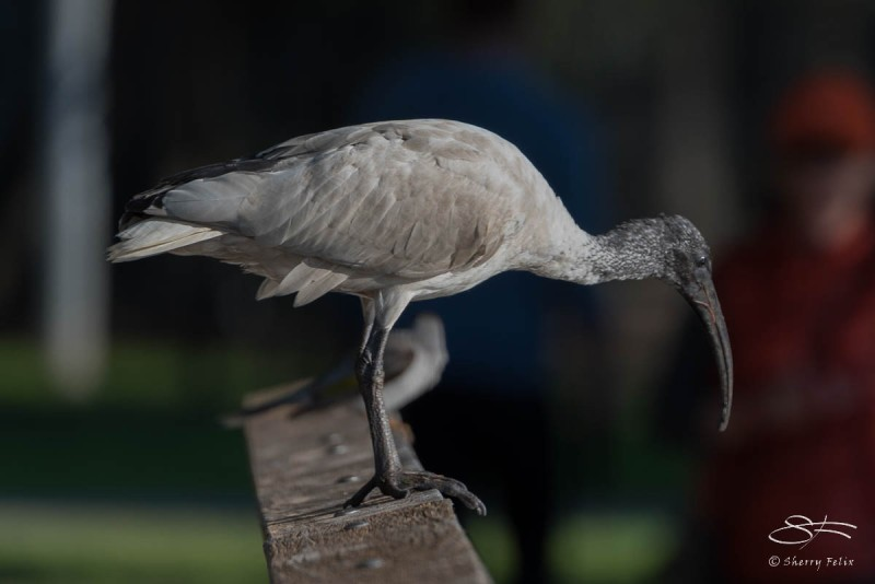Australian White Ibis at Rushcutters Bay July 24