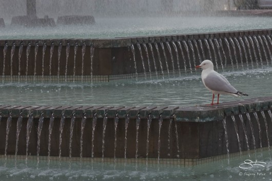 Silver Gull at Macleay Street July 26