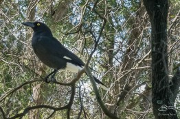 Pied Currawong at Queens Park July 26. Their calls can be heard all over Sydney