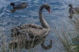 Black Swan, Centennial Park