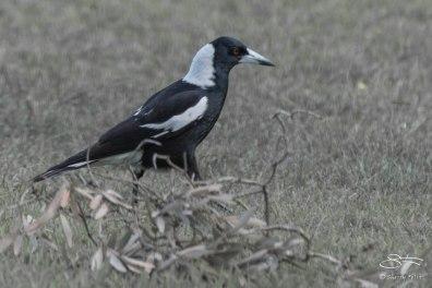 Australian Magpie, Centennial Park