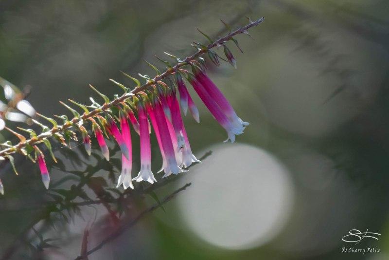 Fuchsia Heath (Epacris longiflora), Australia June 2015