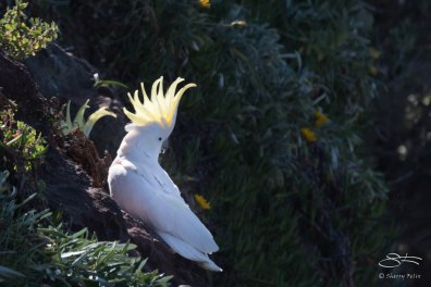 Sulphur-crested Cockatoo, Bondi