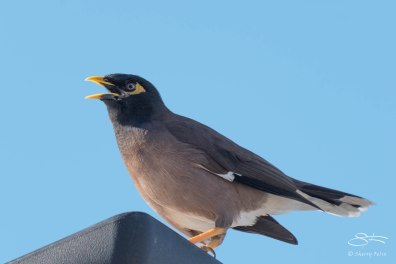 Common Myna, Bondi