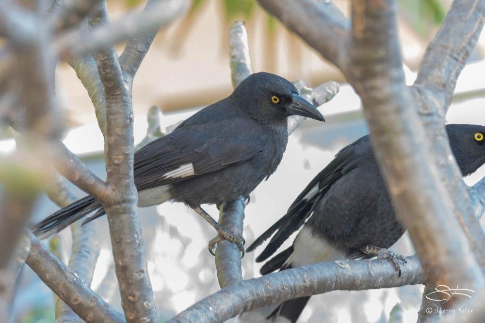 Sydney Land Birds (5/6)