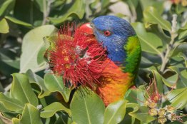 Rainbow Lorikeet, North Bondi