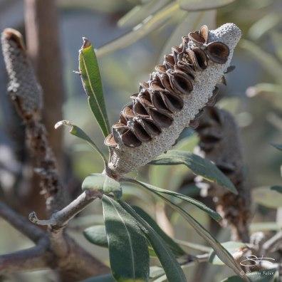 Banksia, Tamarama Beach