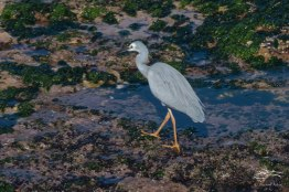 White-faced Heron, Mackenzies Bay
