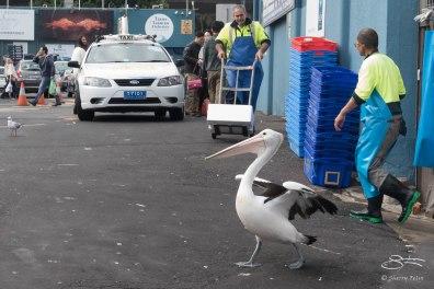 Australian Pelican, Sydney Fish Market