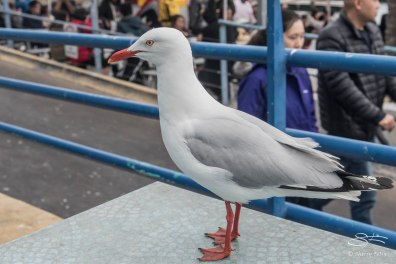 Silver Gull, Sydney Fish Martket