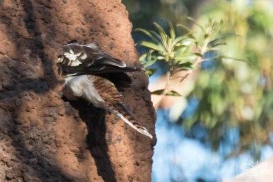 Laughing Kookaburra, Parriwi Park