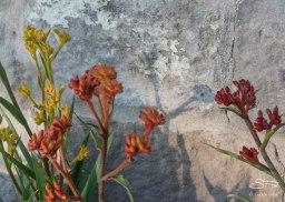 Kanagroo Paw (Anigozanthos sp.)