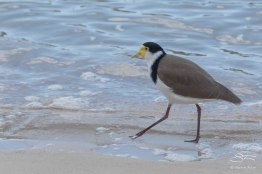 Masked Lapwing, The Spit