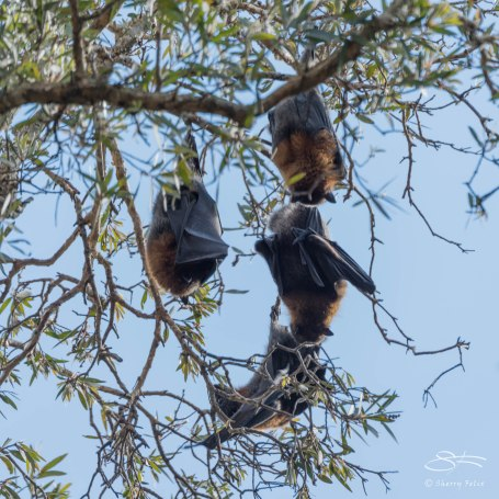 Grey-headed Flying Fox, Centennial Park