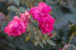 Roses, Hudson 9/4/2015
