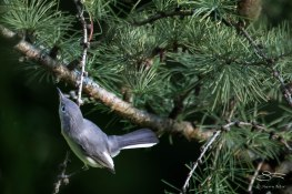 Blue-grey Gnatcatcher, Central Park 9/11/15