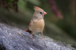 Northern Cardinal, Central Park 9/12/15