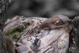 House Sparrow, Central Park 9/12/15
