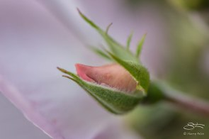 Rose Bud, High Line