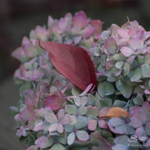 Hydrangea, St Lukes Garden