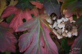Oakleaf Hydrangea, St Lukes Garden
