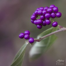 American Beautyberries, St Lukes Garden