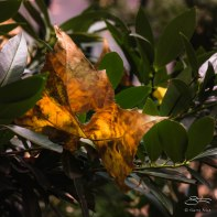 Yellow Leaf, Washington Square 11/7/2015