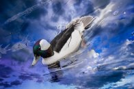 Male Bufflehead