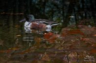 Northern Shoveler, Central Park 11/24/2015