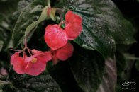 Begonia on Horatio