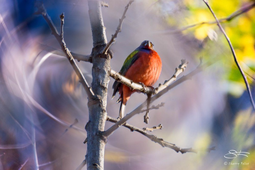 Painted Bunting in Prospect Park (1/4)