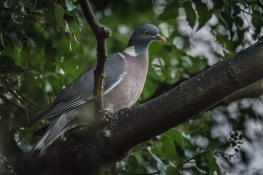 Wood Pigeon, Abney Park Cemetery 12/20/2015